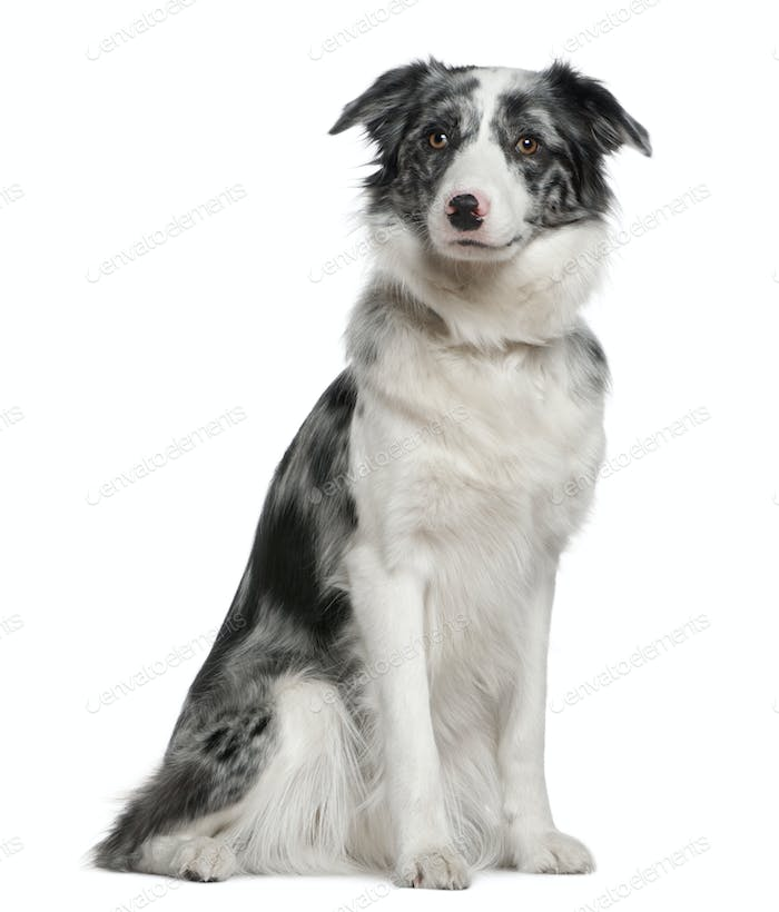 Border Collie, 11 months old, sitting in front of white background