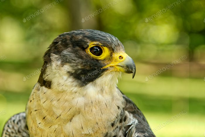 Peregrine falcon (Falco peregrinus) with blurred background