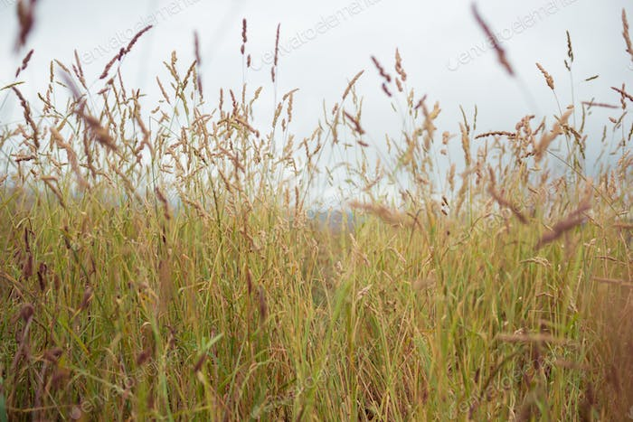 Texture of wild grass against the sky