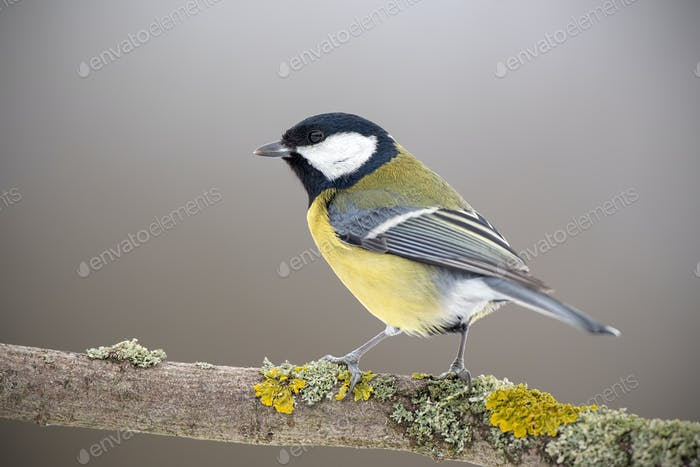 Great tit in winter sitting on a perch covered with yellow moss