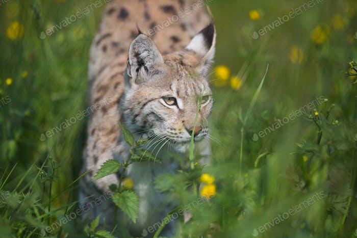 Luchs schleichend im Gras