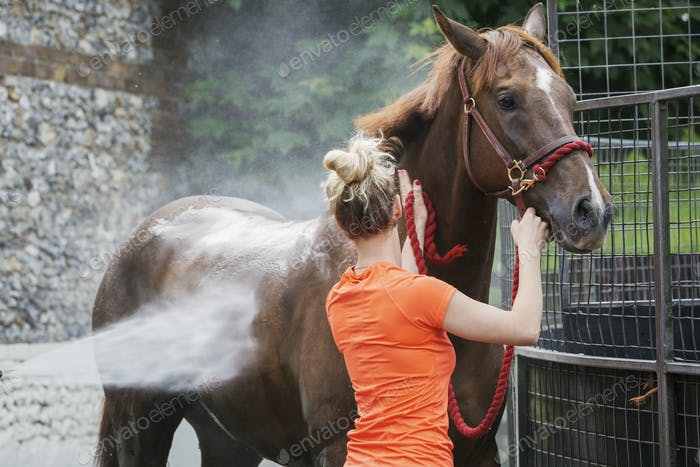 Woman holding a bay thoroughbred horse by the halter as the horse is sprayed down with water after