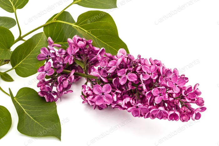 Twig purple lilac, Syringa vulgaris, isolated on white backgroun