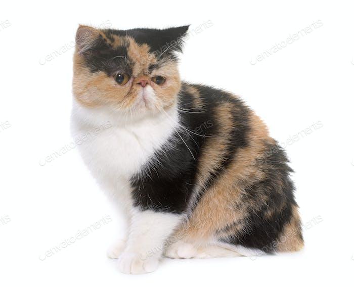 tricolor exotic shorthair cat