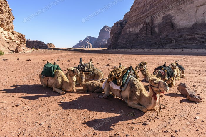 Group of camels resting in the Wadi Rum desert wilderness in southern Jordan.