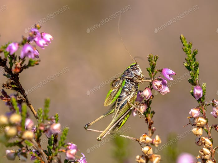 Bog Bush-cricket on heather
