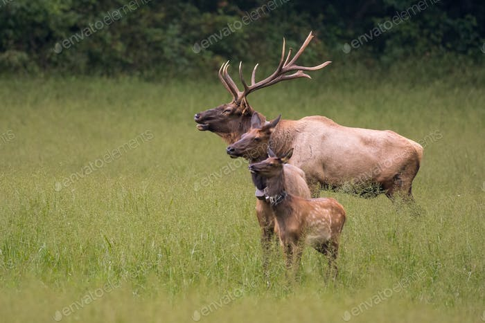 Generations of Elk