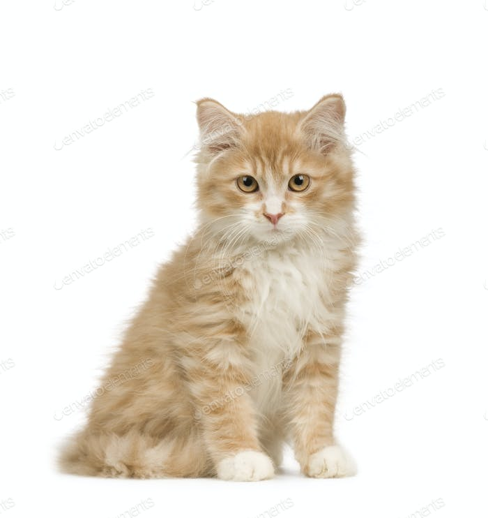 Siberian cat (12 weeks)