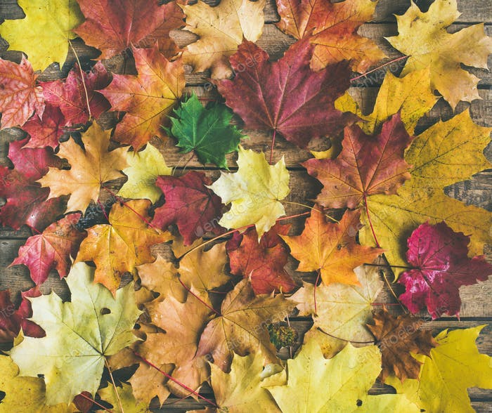 Flat-lay of colorful yellow and red fallen maple leaves