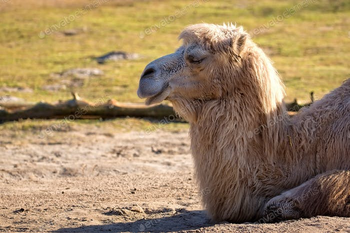 Camel resting in the wild