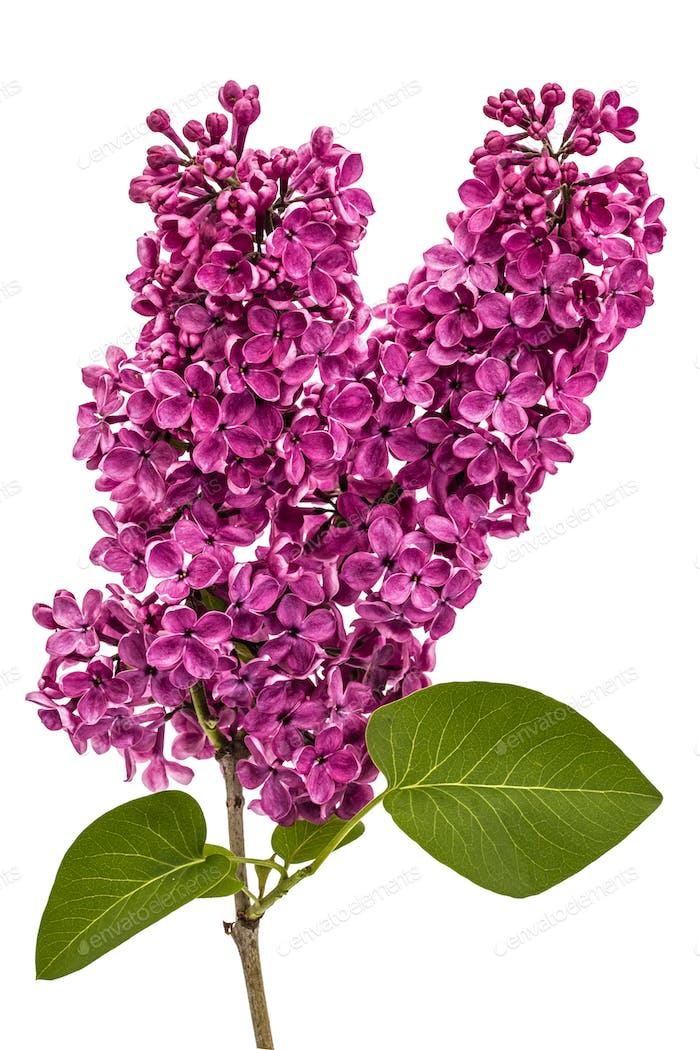 Zweig lila lila, Syringa vulgaris, isoliert auf weißem Hintergrund