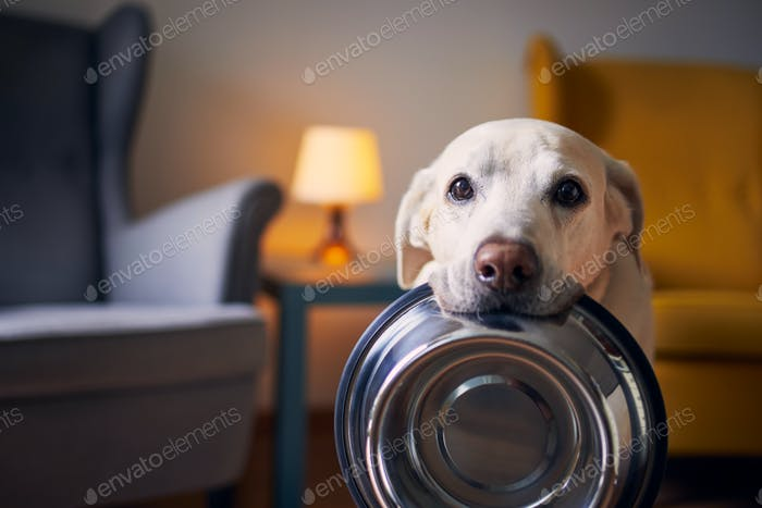 Hungry dog with sad eyes is waiting for feeding at home