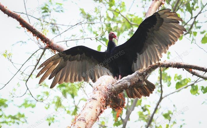 Turkey Vulture Spreading Its Wings in Belize