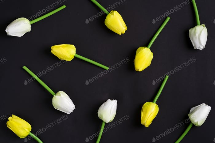 Frische weiße und gelbe Tulpen Blumen auf einem schwarzen Hintergrund. Ansicht von oben
