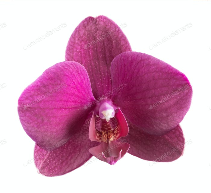 Magenta phalaenopsis flower isolated