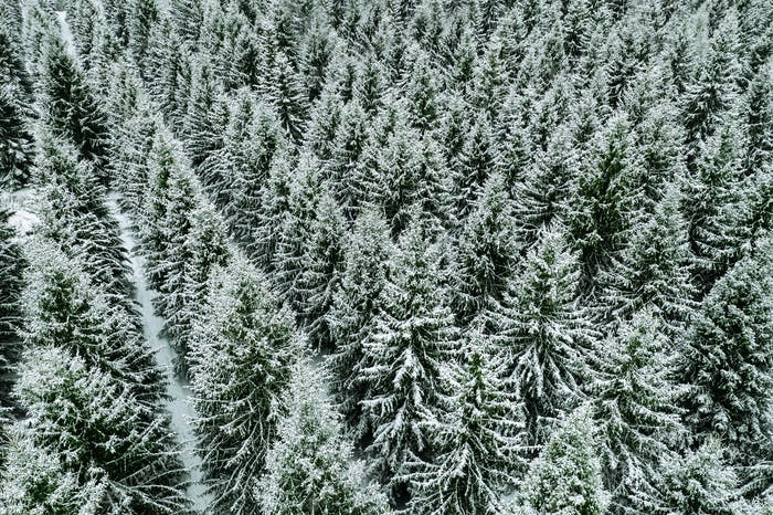 Aerial top view of snow covered trees in winter forest.