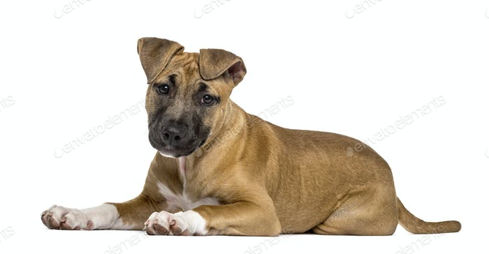 American Staffordshire Terrier puppy lying, isolated on white