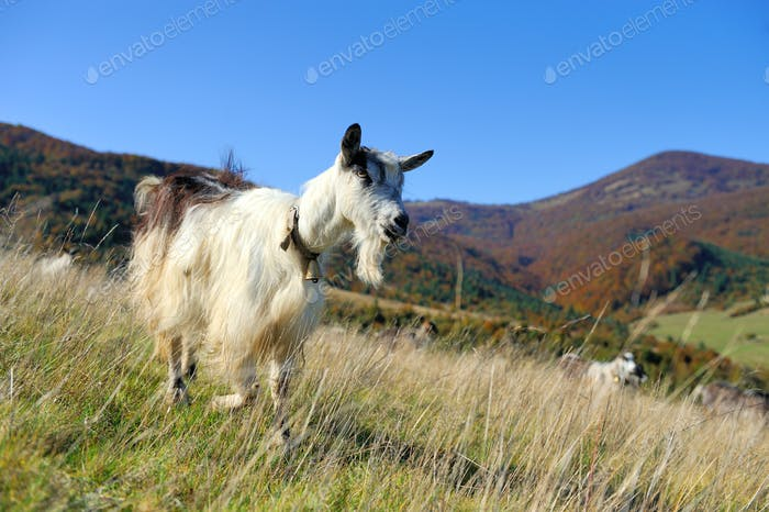 Goat in mountain. Autumn season