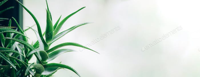 Tropical aloe banner with copy space. Green aloe vera plants. Nature farm garden for cosmetics