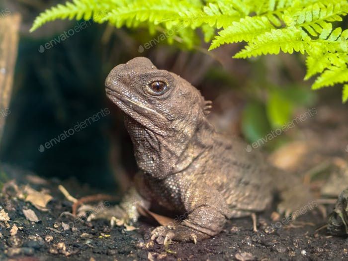 New zealand Tuatara native reptile