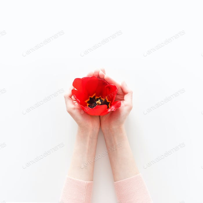 Overhead view of pink tulip in girl's hand isolated on white background. Flat lay, top view