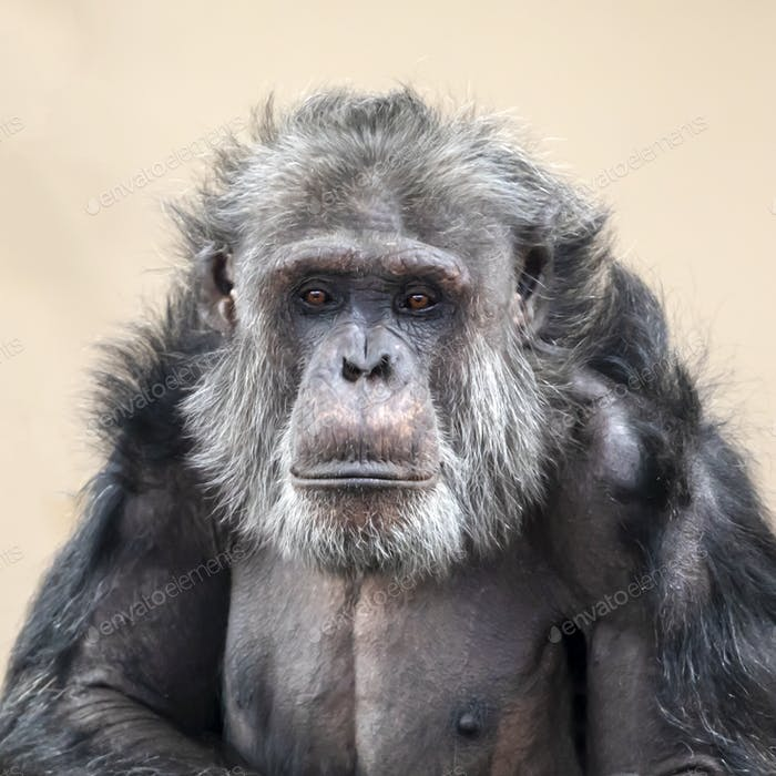 Adult Chimpanzee portrait