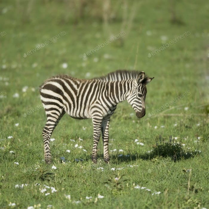 junges Zebra in der Serengeti