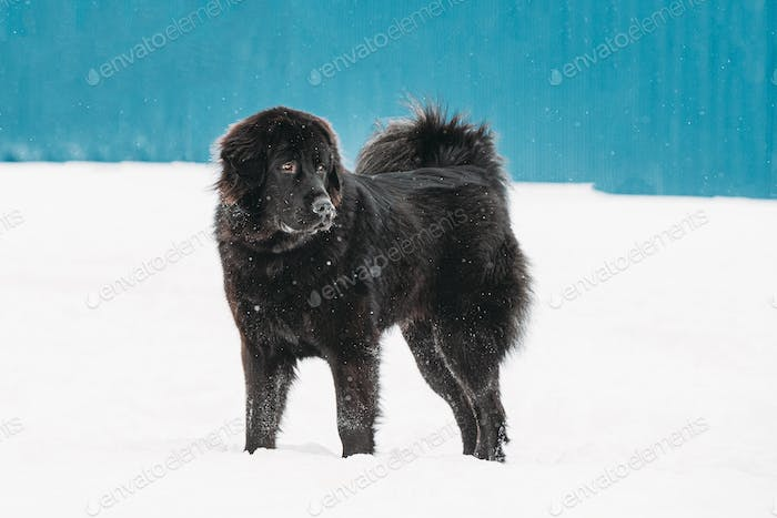 Dog Newfoundland Walk Outdoor In Snow At Winter Day