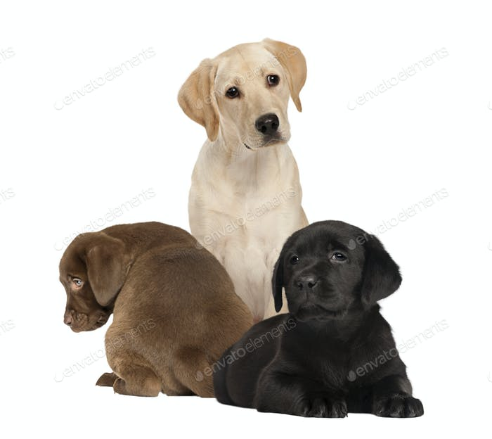 labrador and puppies, isolated on white