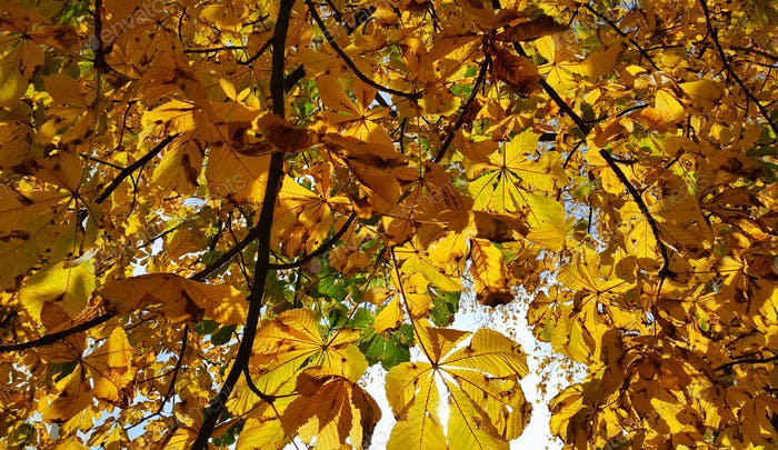 Beautiful yellow autumn leaves of a chestnut