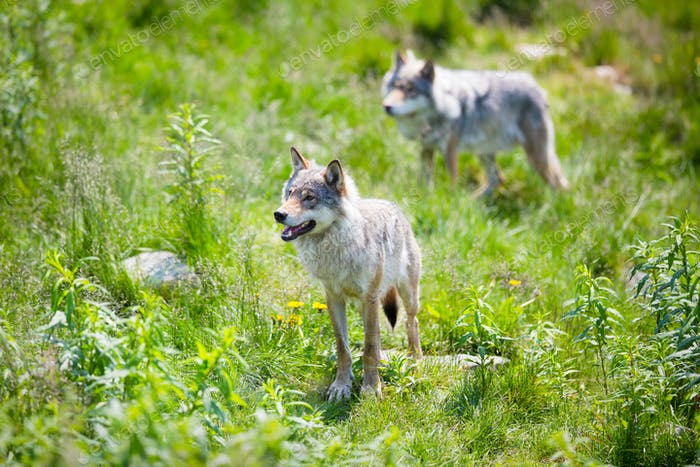 Wolves in nature