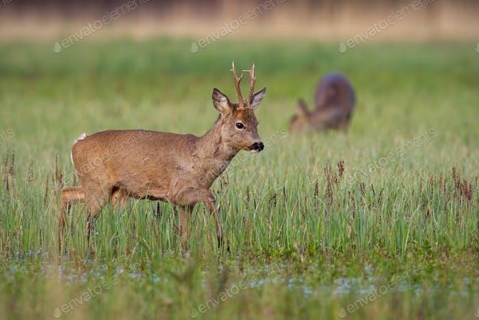 Roe deer buck in winter coat in spring with doe grazing in background