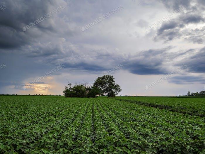 Soy Fields Crops Sunset