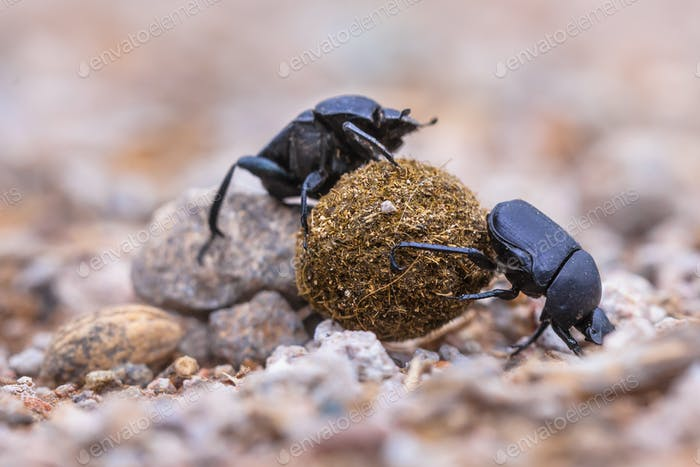 Two strong dung beetles