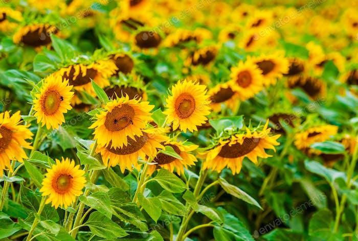Plenty of Sunflowers on a Field