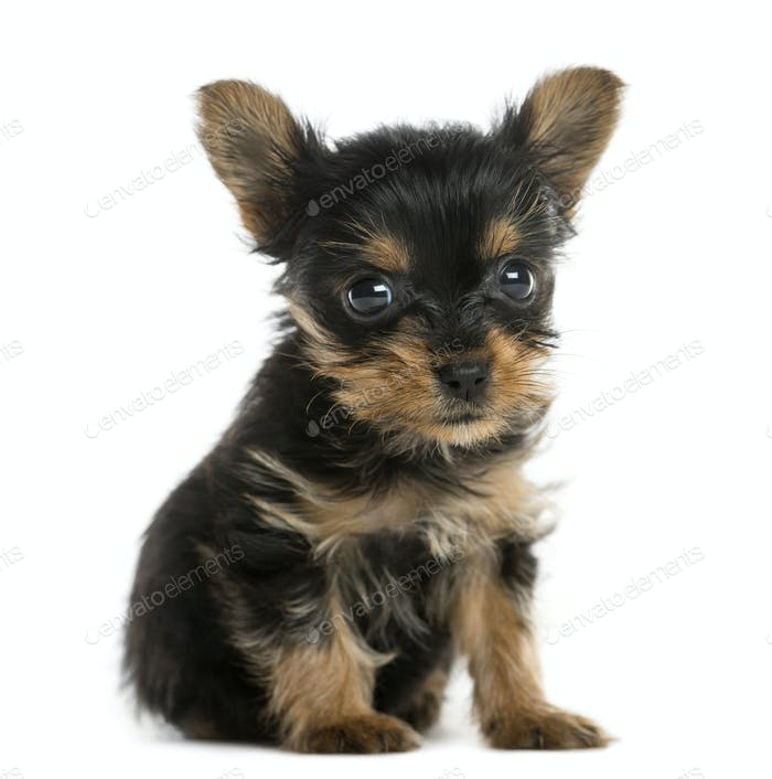 Yorkshire terrier puppy sitting in front of a white background
