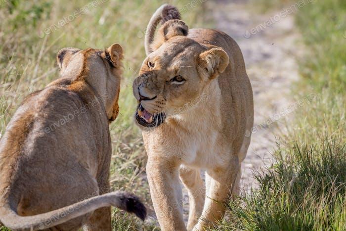 Two Lions having a little argument.