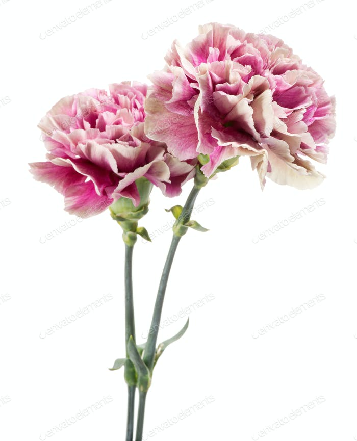 Two pink and white variegated carnations