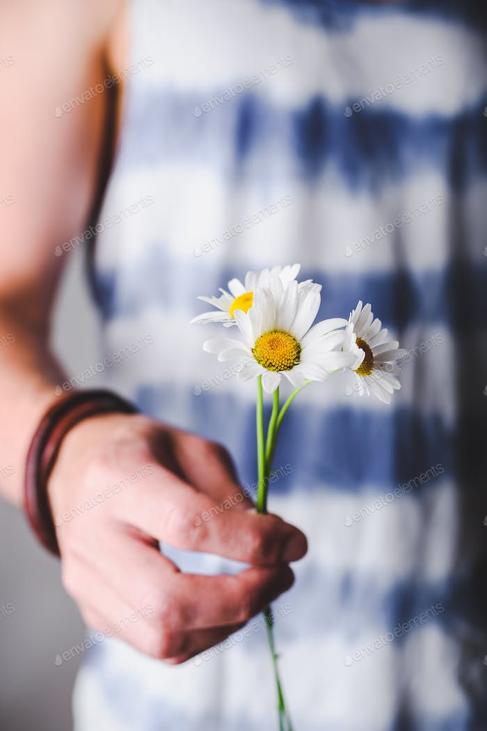 Chamomile flowers in hands