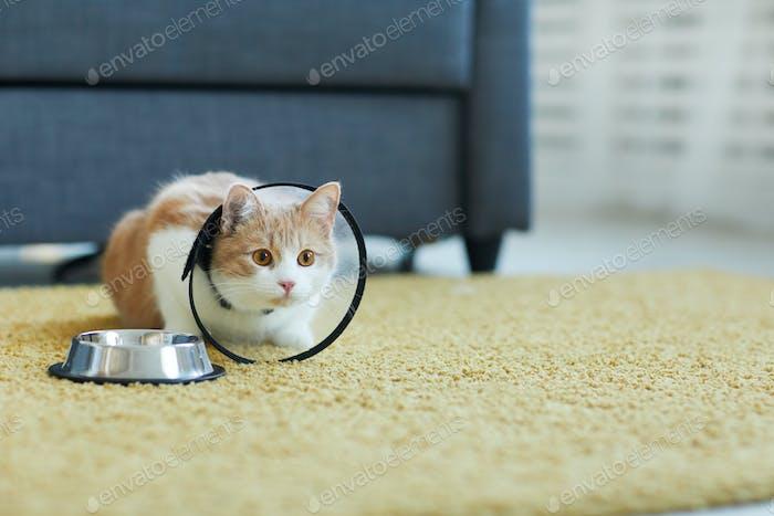 Domestic cat in collar