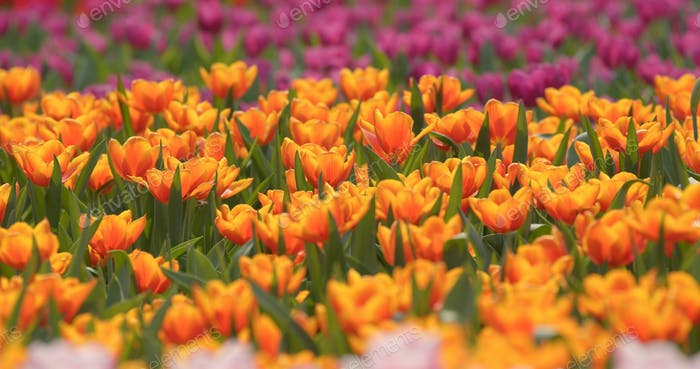 Beautiful fresh tulips farm