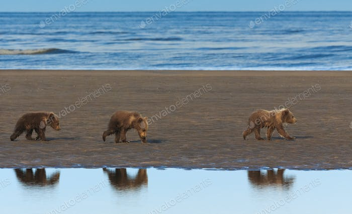 Brown bear cubs, Lake Clark National Park, Alaska, USA
