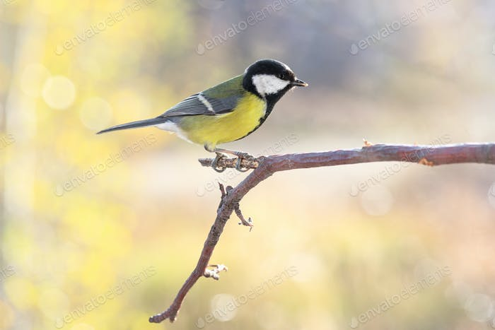 Great tit on branch on blurred background