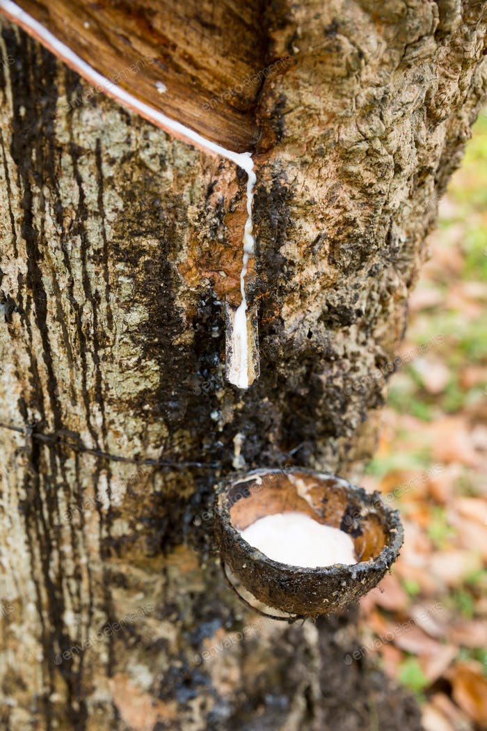 Rubber tree with milk droping in pot closeup view