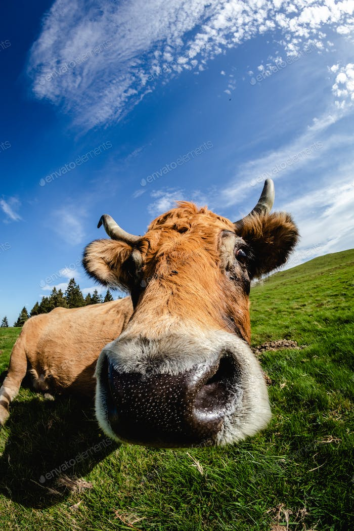 Curious cow near the camera. Funny face with wide angle