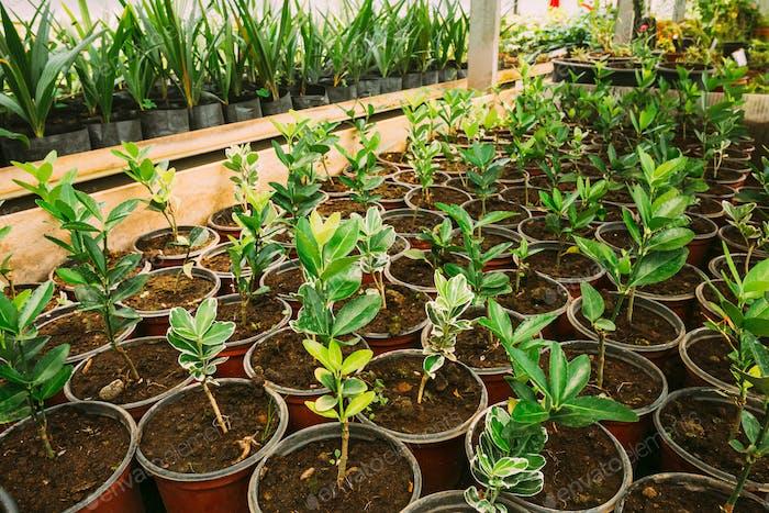 Sprossen von Pflanzen, die aus Boden in Töpfen im Gewächshaus oder Treibhaus wachsen. Frühling, Konzept des neuen Lebens.