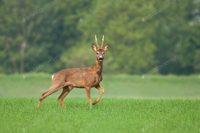 Roe deer buck standing on green field and changing fur in spring nature
