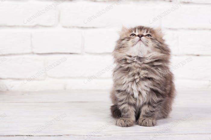 Young fluffy kitten looks very glad and peaceful