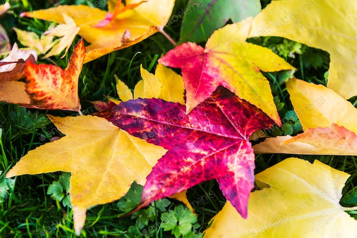 Bright Colorful Leaves from Maple Trees lying on the grass