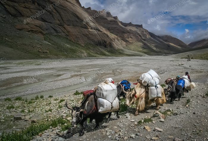 Yaks carrying goods and supplies